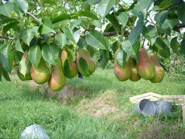 Выращивание груши в крыму 8034